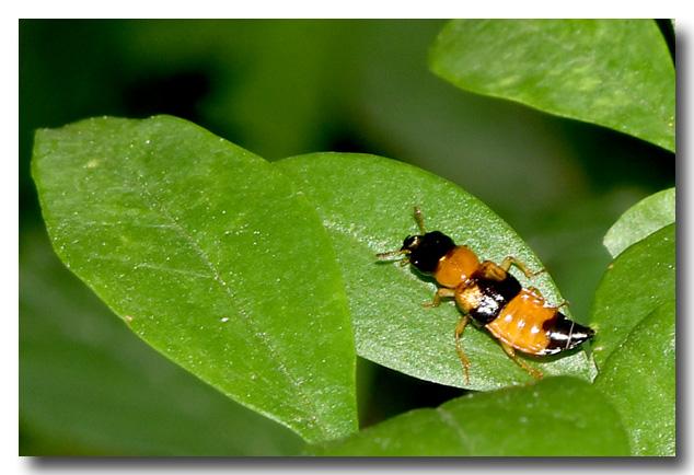 15 coleoptere_oxyporus_rufus20170611_01yd à Thurigneux