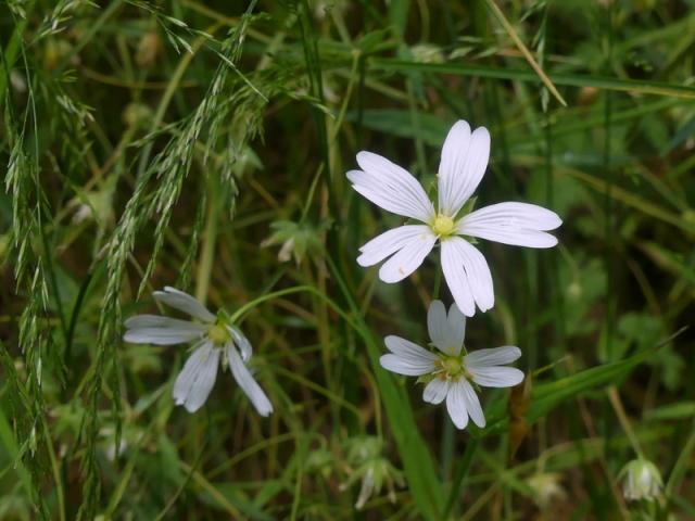 21 P1120126 Stellaria holostea Stellaire holostée